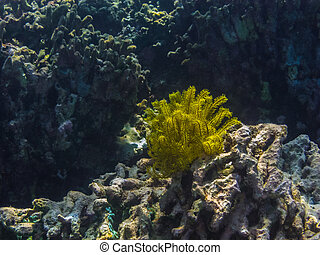 yellow feather star on coral in the sea