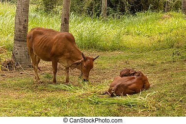 Brown Cow With Calf - A brown cow with her calf feeding in a...