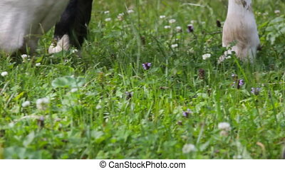 cow on meadow closeup. livestock and green fat grass of...