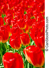 Group of blooming red tulips from above in closeup