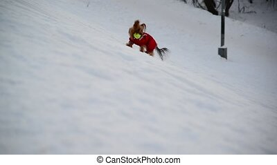 Chinese Crested dog in clothes playing with ball on snow -...