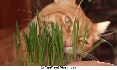 Red cat eats green shoots of oats - Red cat with a large...