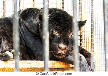 Sad black panther in zoo cage - Sad lonely black panther in...