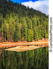 spruce forest on the lake in mountains - spruce forest on...