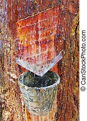pine forest resin extraction