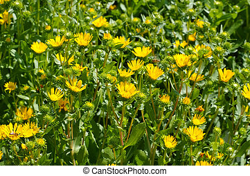 the herbal plant gumweed, Grindelia robusta