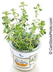 Fresh thyme on white background - Fresh green thyme in a cup...