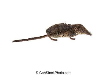 Pygmy shrew on white background - Eurasian pygmy shrew...