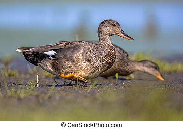 Pair of Gadwall walking on mudflat of wetland - Pair of...