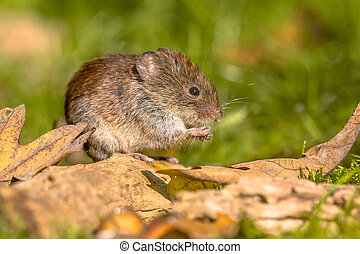 Bank vole hiding between leaves - Bank vole (Clethrionomys...