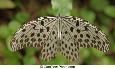 Idea leuconoe butterfly (or paper kite, rice paper or large...
