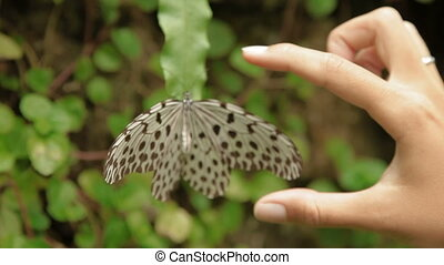 Woman measures Idea leuconoe butterfly (or paper kite, rice...