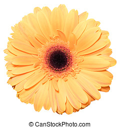 One orange transvaal daisy flower isolated in white...
