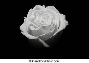 One white rose in black background