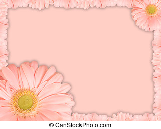 Greeting card with pink transvaal daisy flower - Beautiful...