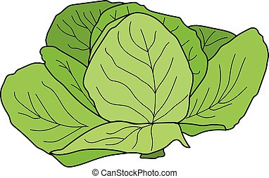 Cabbage - The green cabbage on a white background.