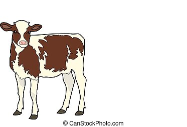 calf - The white calf with brown spots on a white...