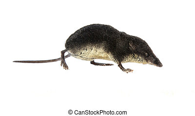 Water shrew on white background - Eurasian water shrew...