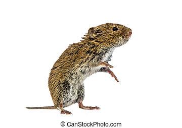 Standing Bank vole on white background - Bank vole (Myodes...