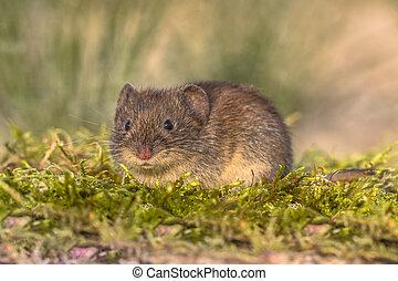 Wild Bank vole in natural environment - Wild Bank vole...