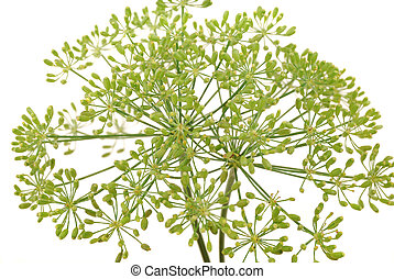 Umbrellas of fennel with seeds on a white background
