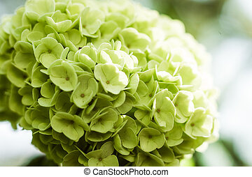 Blooming Hydrangea Limelight Paniculata,Beautiful large...