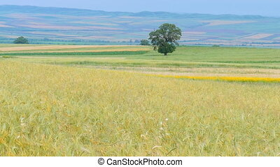 Golden wheat field at summer day