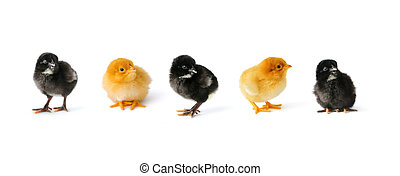 Chicken collection - Set of cute newborn black and yellow...
