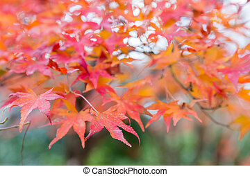 Red maple leaf in autumn season