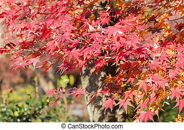 Natural autumn season maple leaf on the tree