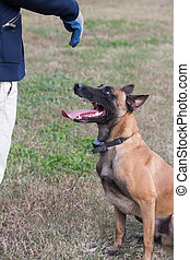 One Germany Shepherd Dog crouched on the grass