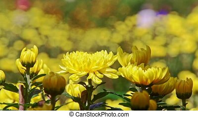 Closeup Yellow Chrysanthemum Flowers at Bright Sunlight -...