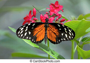 Orange Longwing - An Orange Longwing Butterfly on red...