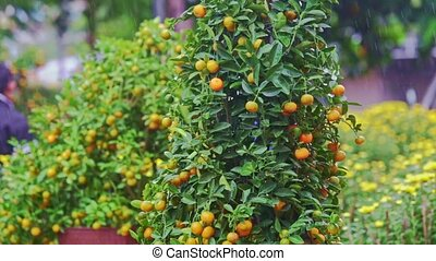 Mandarin Trees on Street Market Stand under Tropical Rain