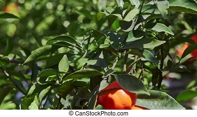 Closeup Mandarins with Sun Brightness on Sides in Leaves -...
