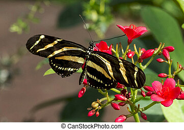 Zebra Longwing - A Zebra Longwing Butterfly on red flowers...