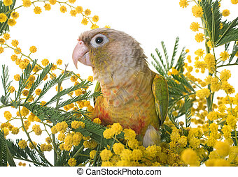 Cinnamon green-cheeked conure in front of white background