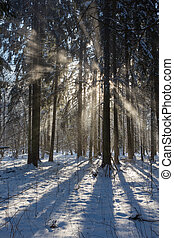 Snowfall in winter sun - Snowfall inside natural stand of...
