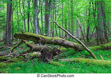 Old ash tree broken lying in springrtime forest - Old oak...