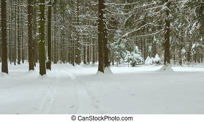 Smooth walking in winter forest. Clean and frosty daytime....