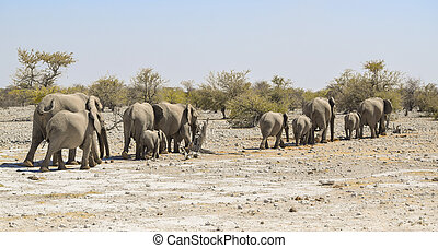 African elephants - sunny arid savannah scenery including a...