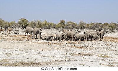 Group of african bush elephants - sunny arid savannah...
