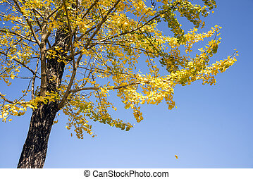 Yellow ginko leaves - Bright yellow ginko leaves in front of...