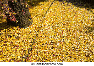 Ginko fallen leaves - Ground covered bright yellow ginko...