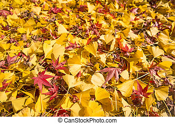 Ginko and maple fallen leaves - Bright yellow ginko and red...