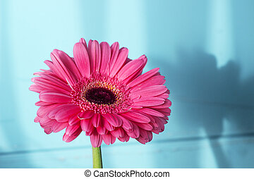Pink gerbera petals in the sunlight