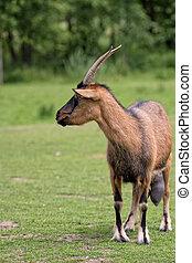 clairière, chèvre