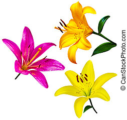 lily flowers isolated. lily flowers. lily flowers isolated...