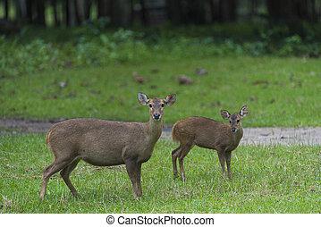 wild deer in Thailand national Park