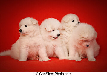 Four White Puppy of Samoyed Dog on Red Background. - Four...